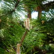Nature. Branch or twig with needles of pine tree — Stock Photo #47329155