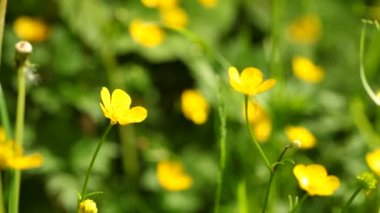 Creeping Buttercup — Stock Video