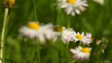 领域的雏菊 — 图库视频影像