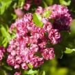 Bloosoming pink flowers of hawthorn tree — Stock Photo #47520813