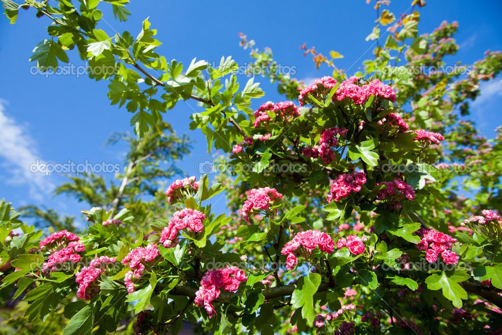 bloosoming rosa bl ten der wei dorn baum stockfoto voyagerix 48579359. Black Bedroom Furniture Sets. Home Design Ideas