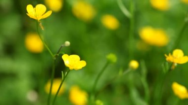 Anemone, windflower or  celandin yellow flowers on the meadow. — Stock Video