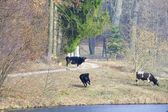Herd of dairy cows farm animals on the river bank or lake shore — Foto Stock