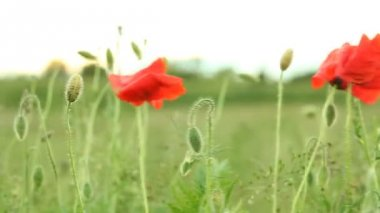 Poppie seed on the wind — Stock Video