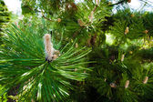 Branch or twig with needles of pine tree — Стоковое фото