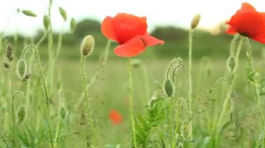 Red common poppy flower wildflower on green meadow — Stock Video
