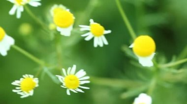 Chamomile flowers — Stock Video