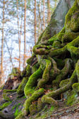 Closeup of tangled tree roots covered with green moss — Stock Photo