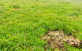 Cow shit dung in grass of meadow — Stock Photo