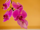 Pink purple orchid flower indoor — Stock Photo