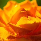 Orange rose flower for background — Stock Photo