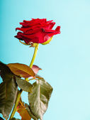 Red rose on blue — Stock Photo