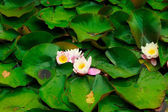 Closeup of water lily in pond. garden white pink flowers — Stock Photo
