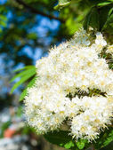 Nature. Bloosoming white flowers of rowan tree — Stock Photo