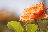 Nature. Orange rose flower for background — Stock Photo