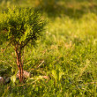 Stock Photo: Sunny thuja