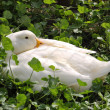 Sleeping white duck farm — ストック写真 #13692865