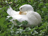 Clean white duck feathers — Stock Photo