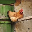 Red hen is sitting - Stock Photo