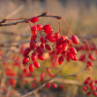 Barberry — Stock Photo #15556273