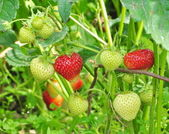 Strawberries growing in the ground — Stock Photo