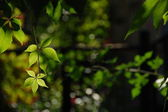 Uvas silvestres — Foto de Stock