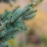 Fir-tree branch — Stock Photo