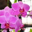 Violet orchid branch - Stock Photo