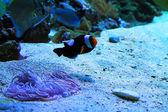 Lindo pececito en un acuario — Foto de Stock