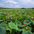 Stock Photo: Lotus lagoon