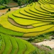 Royalty-Free Stock Photo: Terraced rice fields