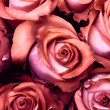 Macro Rose — Stock Photo