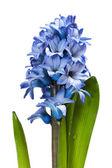Hyacinth on white — Stock Photo