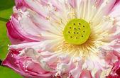粉红色的荷花、 草合议庭、 特写,显示莲子 — 图库照片