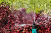 Sprinkler Head showing Radius of Water Droplets for Bush and Lawn — Stock Photo