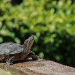 Pond terrapin in sunshine day — Stock Photo