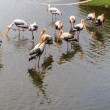 Stock Photo: Flock of Painted Stork in Lake, Ibis leucocephalus
