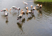 Flock of Painted Stork in the Lake, Ibis leucocephalus — Stock Photo