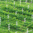 Stock Photo: Vineyards, Minimal Tillage Practice in Bird Eye's View