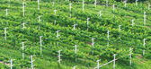 Vineyards, Minimal Tillage Practice in Bird Eye's View — Stock Photo