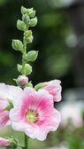 Pink mallow in Blurred Background with Young Flower Buds, Hollyhock — Stock Photo