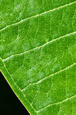 Green Leaf showing Vein isolated on Black Background, Closeup — Stock Photo