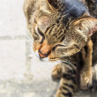 Itching Tabby Cat, Closeup — Stock Photo