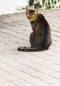 Tabby Cat with Yellow Eyes sitting on Walkway — Stock Photo