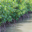 Mangrove Forest prevent Coastline Corrosion, Thailand — Stock Photo