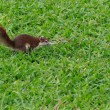 Brown Squirrel Jumping on Grass — Stock Photo