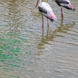 Stock Photo: Painted Stork fishing in Lake, Ibis leucocephalus