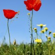 Stock Photo: Scarlet poppy