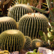 Cactuses — Stock Photo #12654916