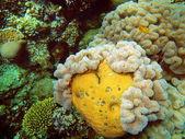Coral suave — Foto de Stock